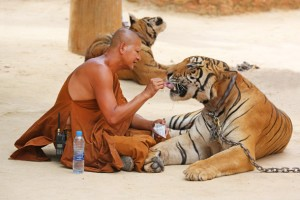 buddhist temple tigers